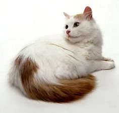b278624a73 The Turkish Van cat breed. Information about turkish van cats and turkish  van kittens