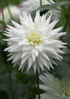 ~Dahlia 'Eisprinzessin' #dahlias #flowers Feed your plants with GrowBest from http://www.shop.embiotechsolutions.co.uk/GrowBest-EM-Seaweed-Fertilizer-Rock-Dust-Worm-Casts-3kg-GrowBest3Kg.htm