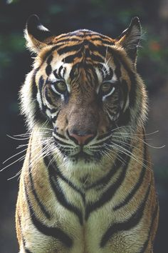 Big Cats, Cats And Kittens, Cute Cats, Animals And Pets, Baby Animals, Cute Animals, Beautiful Cats, Animals Beautiful, Exotic Pets