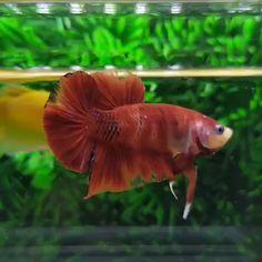 All credit to @cupan9.lelan9  on instagram as the owner of this content. Koi Betta, Betta Aquarium, Betta Fish Tank, Colorful Fish, Tropical Fish, Oscar Fish, Betta Fish Types, Giant Fish, Underwater Animals