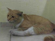 KILLED 9/28/14 @ NYC ACC Manhattan Center TOMMY - ID#A1015120  I am an unaltered male, orange tabby and white Domestic Shorthair mix. The shelter staff think I am about 6 years old. I weigh 10 pounds.I was found in NY 11208. SCAN NEGATIVE BRIGHT, ALERT, RESPONSIVE PHYSICAL EXAM- reported as HBC unable to use both hind limbs wounds on medial to left hind limb. Rest in peace, sweet Tommy.  :(