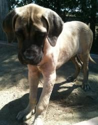 Smalls is an adoptable Mastiff Dog in Woodland, CA. Gorgeous purebred English Mastiff puppy available for adoption This adorable big puppy is a purebred English Mastiff.He is approximately 5 months ...