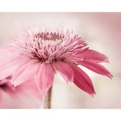 Fresh pink white, flower photography, fine art photo, daisy photo,... (€13) ❤ liked on Polyvore featuring photo