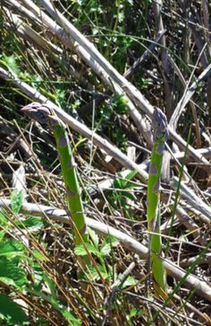 wild asparagus spears --- Finding the Wily Wild Asparagus