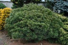 Pinus strobus Merrimack Dwarf, Shrubs, Plants, Shrub, Plant, Planets
