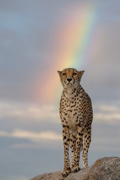 Gorgeous Cheetah Standing in the Clean Fresh Air After a Good Rain. A Rainbow Appears.Cheetahs and Things). Beautiful Cats, Animals Beautiful, Big Cats, Cats And Kittens, Siamese Cats, Animals And Pets, Cute Animals, Wild Animals, Baby Animals