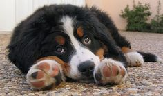 Bernese Mountain Dog Puppies Face | All Puppies Pictures and Wallpapers