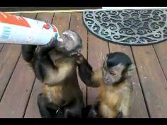 ▶ Cute Monkeys Love Whipped Cream - YouTube
