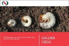 Resultado de imagen para GALLINA CIEGA