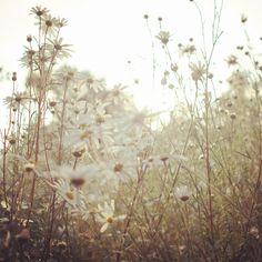 White daisy field.  2012, korea,