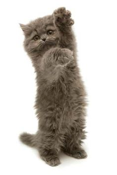 This is a picture of a cute gray persian kitten jumping and playing. See more cute kitten pics at Cute Kittens. American Bobtail, Cute Kittens, Cats And Kittens, Kitty Cats, Crazy Cat Lady, Crazy Cats, Bad Cats, Bobtail Cat, Selkirk Rex