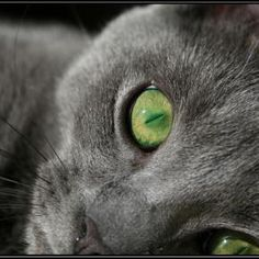 Gray Kitty w/ pretty green eyes Cute Cats And Dogs, I Love Cats, Cats And Kittens, Russian Blue, Grey Cats, Blue Cats, Sleepy Cat, Here Kitty Kitty, Beautiful Cats