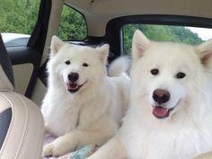 Love my Samoyed babies!