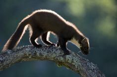 Pine marten by Peter Cairns on 500px