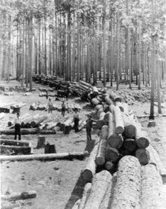 Turn of the century (1900) logging of longleaf pine forest...