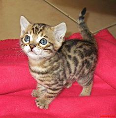 A very cute bengal kitten - http://cutecatshq.com/cats/a-very-cute-bengal-kitten/