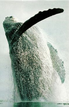 Humpback whale breaches off of Alaska's Admiralty Island National Geographic   January 1984 #Photography #Whale