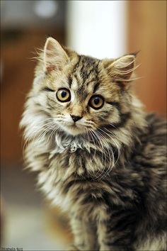 Interested in owning a Maine Coon cat and want to know more about them? We've made this site to tell you all you need to know about Maine Coon Cats as pets Pretty Cats, Beautiful Cats, Animals Beautiful, Cute Animals, Pretty Kitty, Cute Cats And Kittens, I Love Cats, Crazy Cats, Ragdoll Kittens