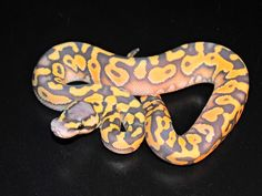 DESERT ORANGE GHOST PASTEL - holy glowing ball python, batman