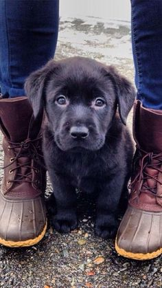 black lab puppy/cute/adorable/eyes/puppy face/shoes/jeans/