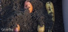 Packing autumn root crops in sand is an easy and convenient way to store them for longer...