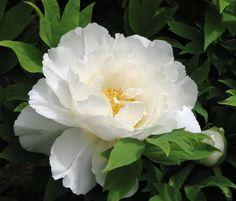 White Peonies, White Roses, White Flowers, Exotic Flowers, Beautiful Flowers, Flower Prints, Flower Art, Peonies Garden, Peonies Bouquet