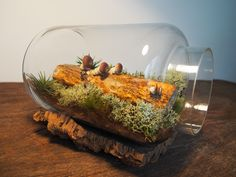 How perfectly does a shiitake wood log lies on this terrarium? 💚  A semi-closed glass vase with a moss bed is low-maintenance and keeps the moisture in, creating the perfect environment for mushrooms to grow. 🌲 We just can't take our eyes of this tiny forest ecosystem sitting beatifully in our living room Forest Ecosystem, Moss Terrarium, Wood Logs, Glass Vase, Stuffed Mushrooms, Environment, Canning, Living Room, Eyes
