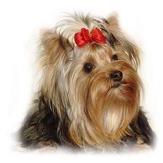 Информер полароид: Йоркширский терьер » Виджеты с собаками для сайта или блога