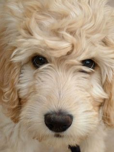 blonde #goldendoodle pup, close-up