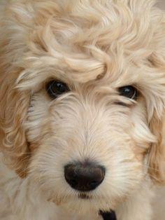 Blonde Goldendoodle Puppy