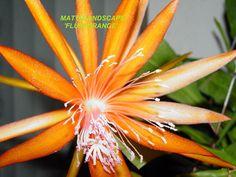 Epiphyllum hybrid 'FLUID ORANGE'