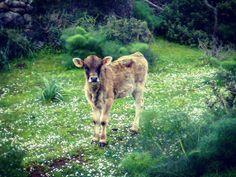 by http://ift.tt/1OJSkeg - Sardegna turismo by italylandscape.com #traveloffers #holiday | #vitellino #campagnasarda #campagna #paulilatino #campagnapaulese #nationalgeographicitalia #natgeo #wild #natgeowild #allevamento #bovini #wildlife #pascolo #pascolisardi #igerssardinia #lanuovasardegna #sardegnagram #sardegna_super_pics #sardegna #sardinia Foto presente anche su http://ift.tt/1tOf9XD | January 28 2016 at 12:04AM (ph simone_jaymz ) | #traveloffers #holiday | INSERISCI ANCHE TU offerte…