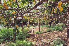Lemon trees - Amalfi, Italy <3
