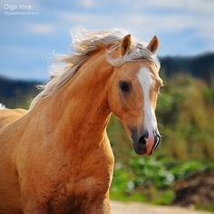 Palomino.....my father had a Palomino Stallion when I was growing up! Guess that is why I love them so!