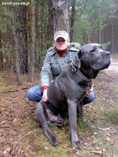 Waaant so bad Cane Corso Italian Mastiff, Cane Corso Mastiff, Cane Corso Dog, Huge Dogs, Giant Dogs, Animals And Pets, Cute Animals, French Dogs, Loyal Dogs