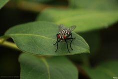 A Drosophila melanogaster é uma espécie de insecto díptero. Durante muito tempo as drosófilas foram conhecidas como moscas-das-frutas, entretanto essa nomenclatura já não é mais utilizada por referir-se mais apropriadamente às moscas da família Tephritidae, que causam prejuízo aos fruticultores. As drosófilas se alimentam de leveduras em frutos já caídos em início de decomposição e, portanto, não causam prejuízo. Esta espécie é um dos animais mais utilizados em experiências de genética…