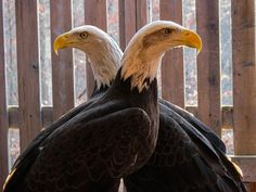 Piper and Ben, Bald Eagles, Indiana Raptor Center, photo by David Orr.