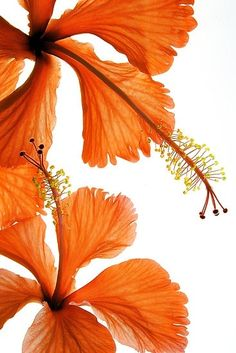 Orange Hibiscus reminds me of the new tropical flower charm in the Hibiscus Flowers, Orange Flowers, Tropical Flowers, Orange Color, Beautiful Flowers, Hibiscus Garden, Hibiscus Cake, Peach Colors, Orange Aesthetic