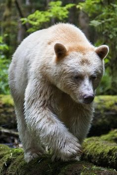 "This is how I picture you as a bear LOL A Kermode or ""spirit"" bear                                                                                                                                                     More"