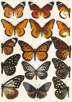 a. Seitz, Die Groß-Schmetterlinge der Erde