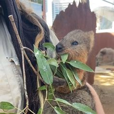 Animals And Pets, Baby Animals, Cute Animals, Australia Animals, Quokka, Nature Gif, Puppy Love, Gifts For Kids, Puppies