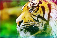 #tiger #cartoonizer