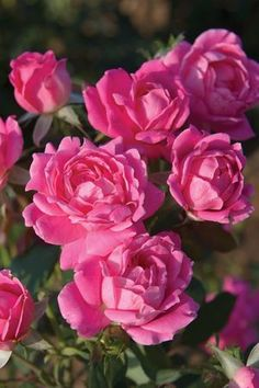 Double Knock Out Rose. Blooms from early spring to first frost, low maintenance, drought tolerant. Beautiful.