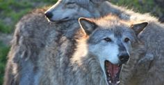 Idaho Fish and Game announced on Monday that the department has concluded a wolf cull in the state's northern Lolo zone, ending with 19 wolves killed....