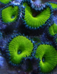 Nuclear Green Zoanthids - the beautiful colors of nature