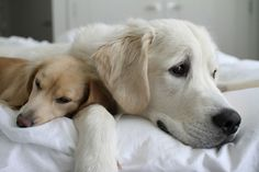 Lenny is the cutest and sweetest Golden Retriever! Here's a pic of him with his BFF Tristan.