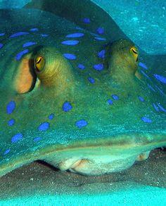 Dasyatidae - Bluespotted stingray by Anel Van Veelen, via Flickr