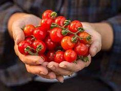 Doma vypěstovaná rajčátka jsou nesladší, na odrůdě však záleží také Hot Dogs, Stuffed Peppers, Vegetables, Fruit, Ethnic Recipes, Food, Tomatoes, Sugar, Harvest Season