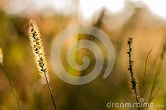 Floral bokeh with grass stock image. Image of life, hungary - 59116729 Life Images, Bokeh, Hungary, Grass, Dandelion, Celestial, Stock Photos, Floral, Flowers