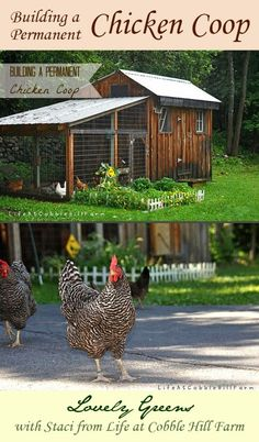Build your own hen house with these tips on what is needed: roosts, ventilation, entries, nesting boxes, and more #chickens